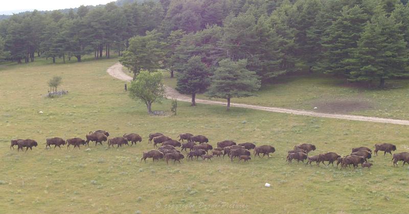 Prise de vue drone des Bisons d'Europe à la réserve des Monts d'Azur à Andon, Alpes-Maritimes, pour The Explorers © Drone-Pictures